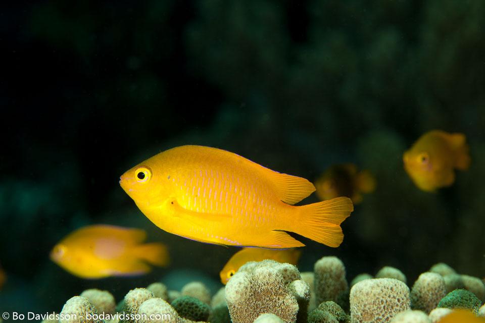 BD-140320-Baiicasag-2821-Pomacentrus-moluccensis.-Bleeker.-1853-[Lemon-damsel].jpg